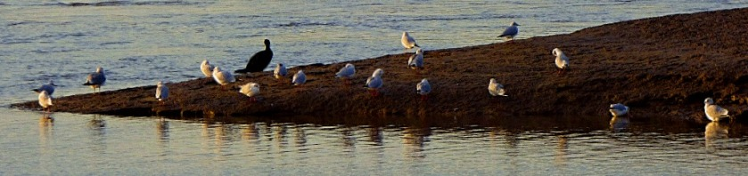Gulls and cormorant