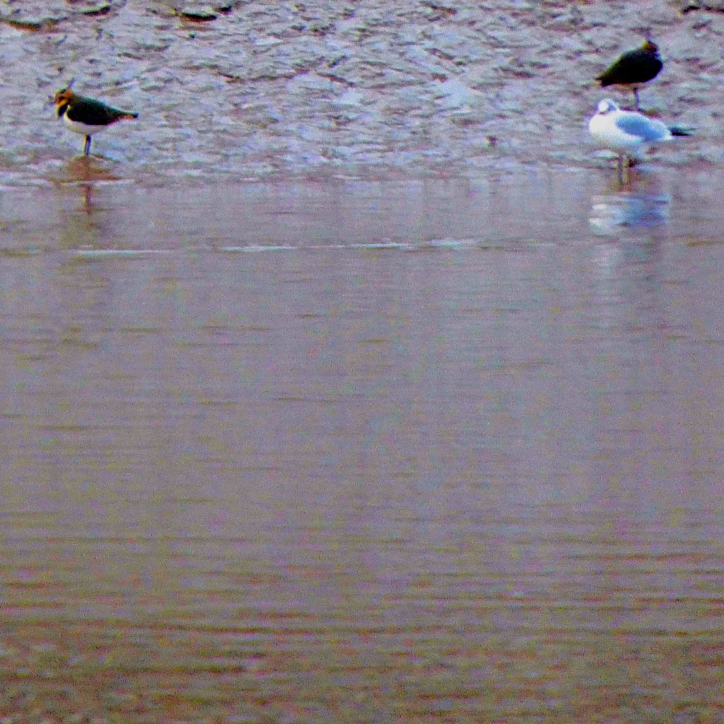 lapwings and a gull
