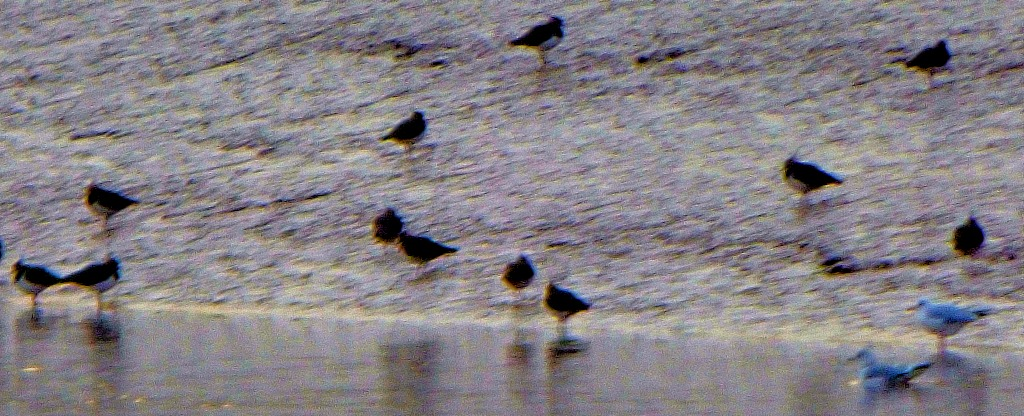 lapwings and gulls