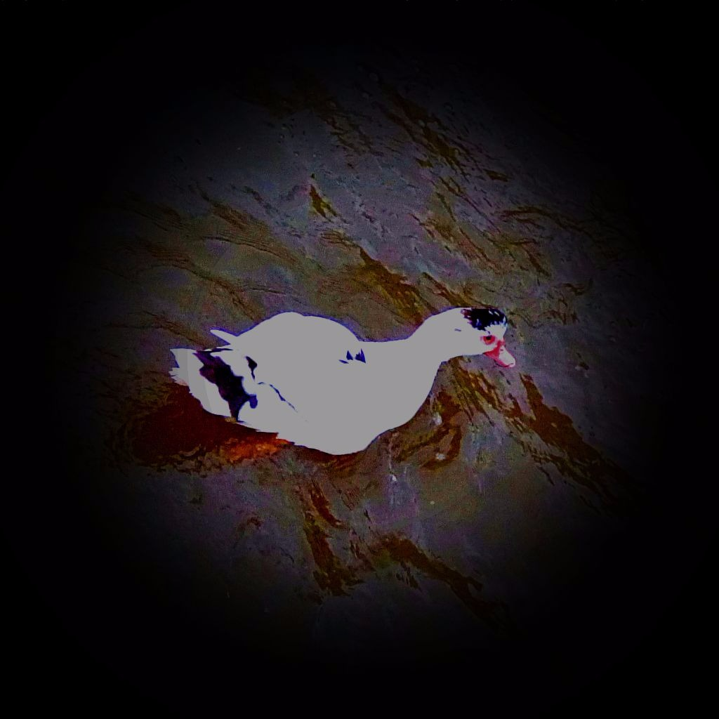 light muscovy II