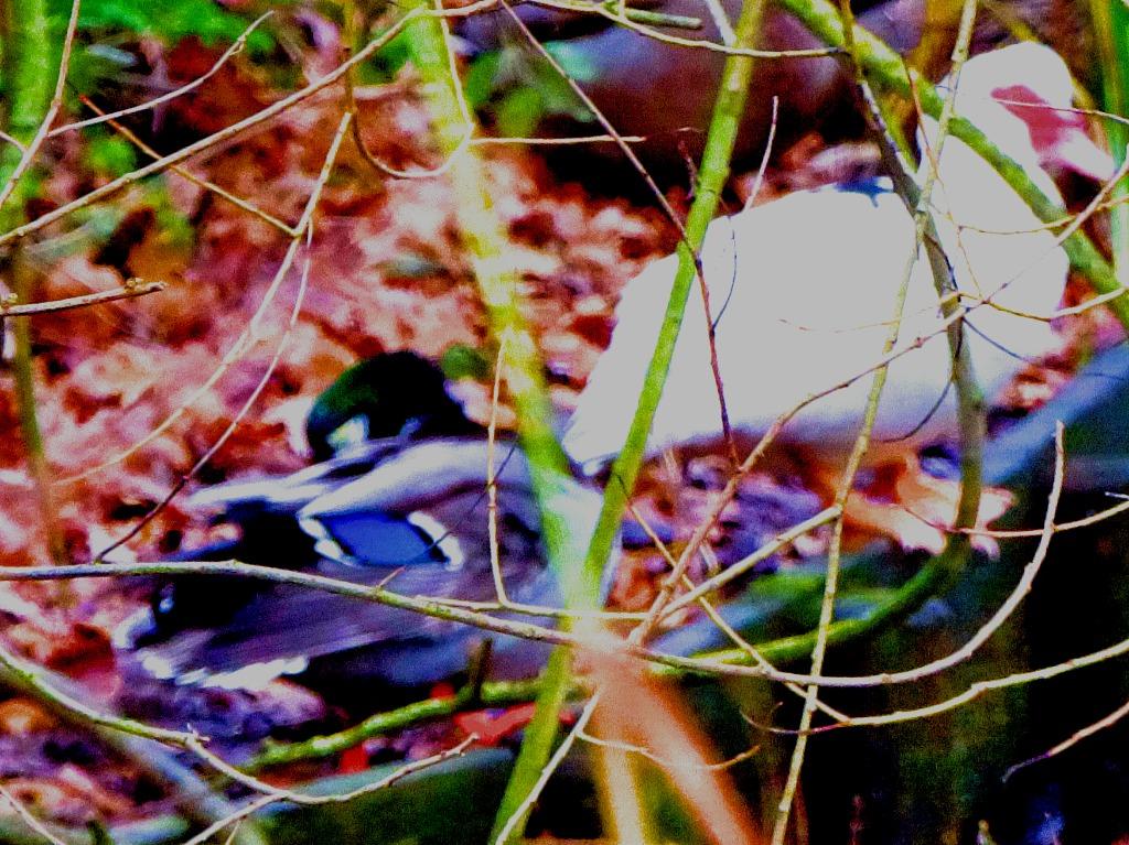 Mallard drake and Muscovy duck