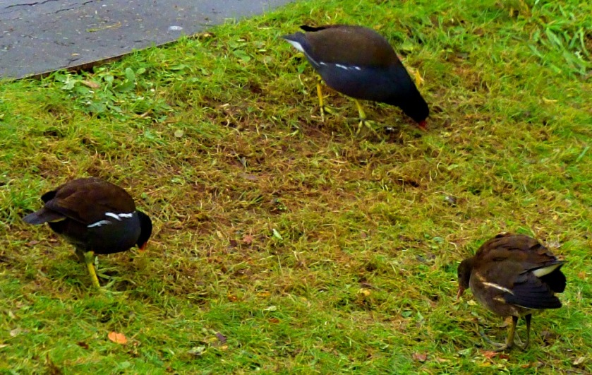 Moorhen triangle