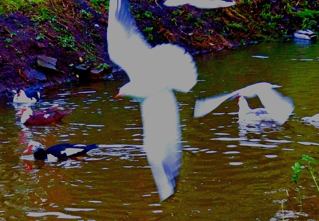 Muscovies and gulls