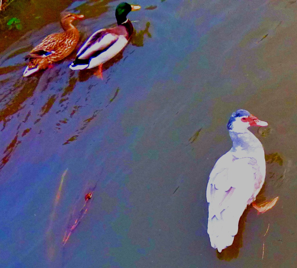 Muscovy and mallards