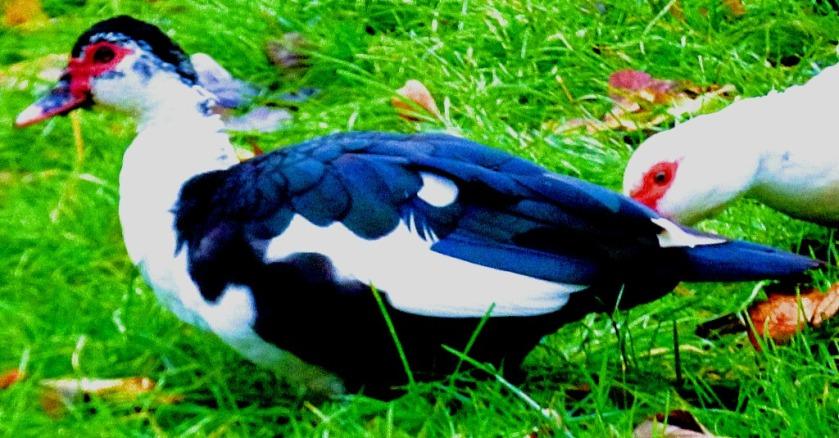 Piebald bird