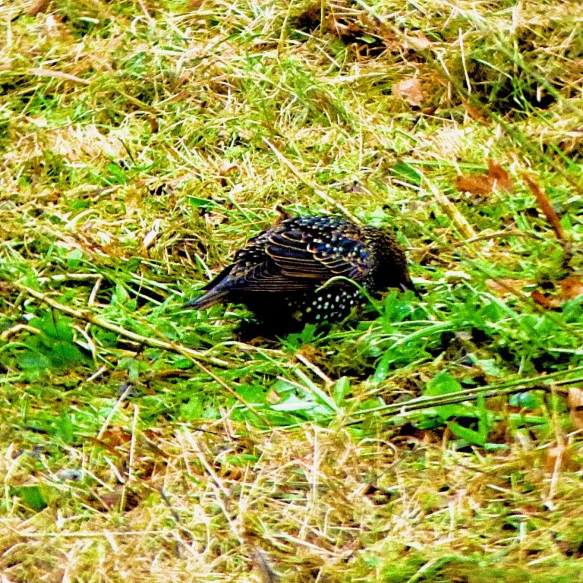Starling on grass