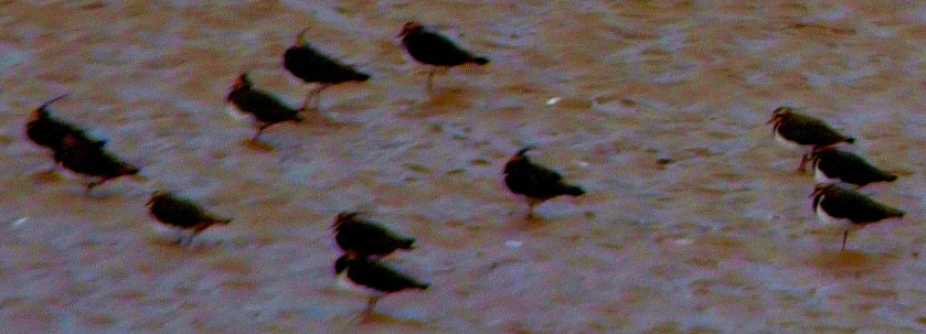 11 lapwings