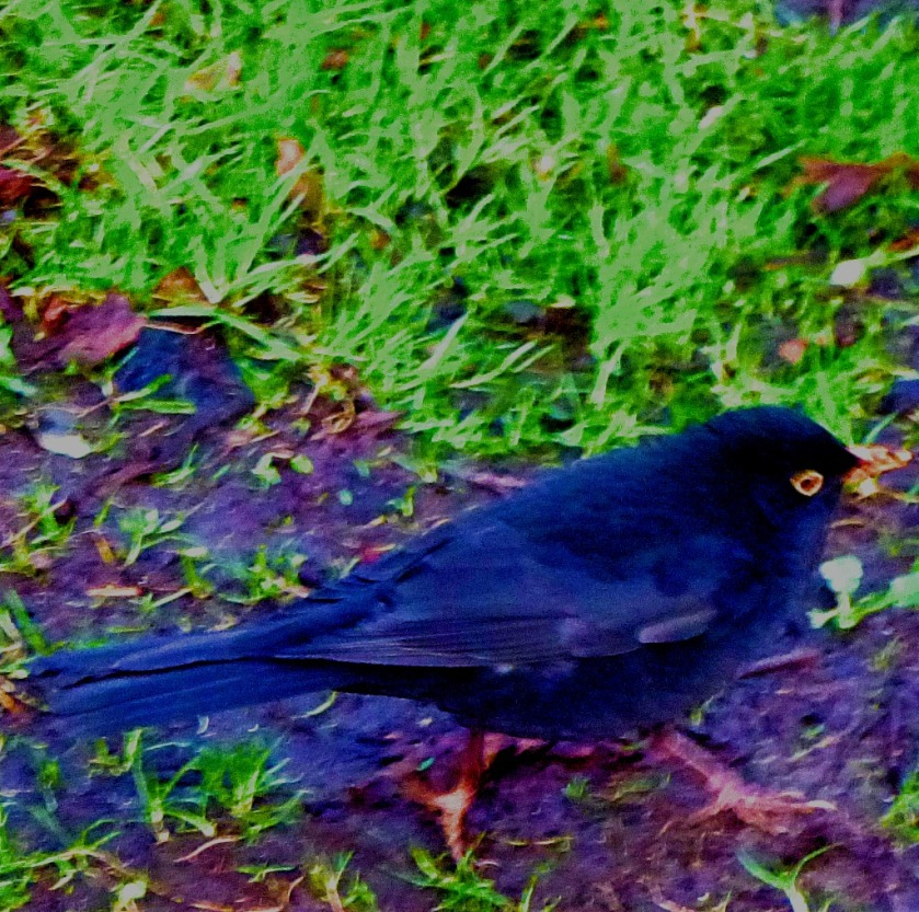 Blackbird L