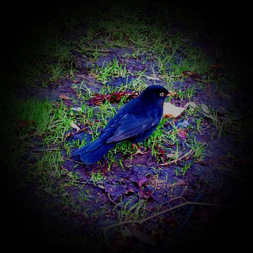 Blackbird LI