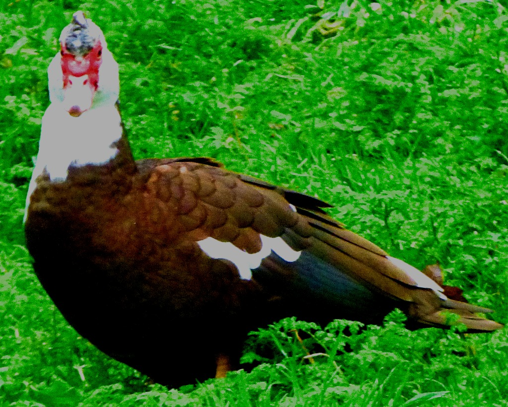 brown muscovy