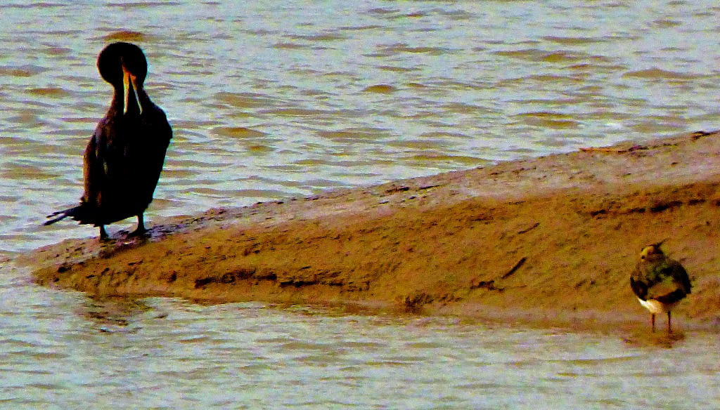 Cormorant and lapwing I
