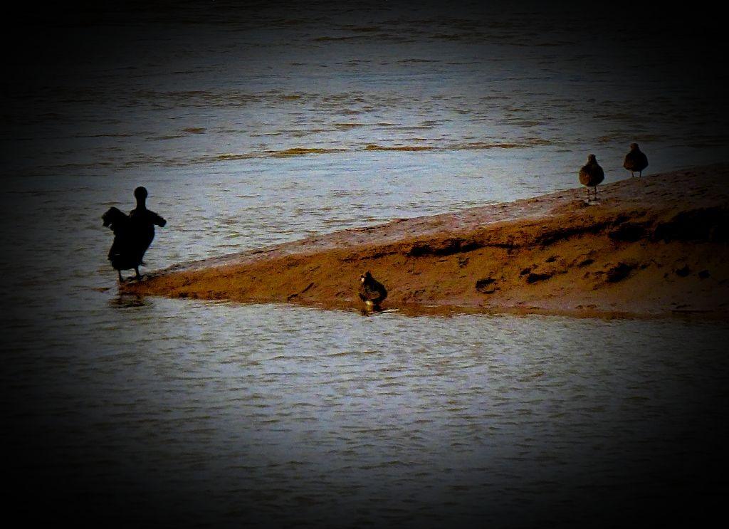 Cormorant and lapwings II