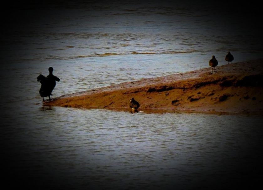 Cormorant and lapwings II