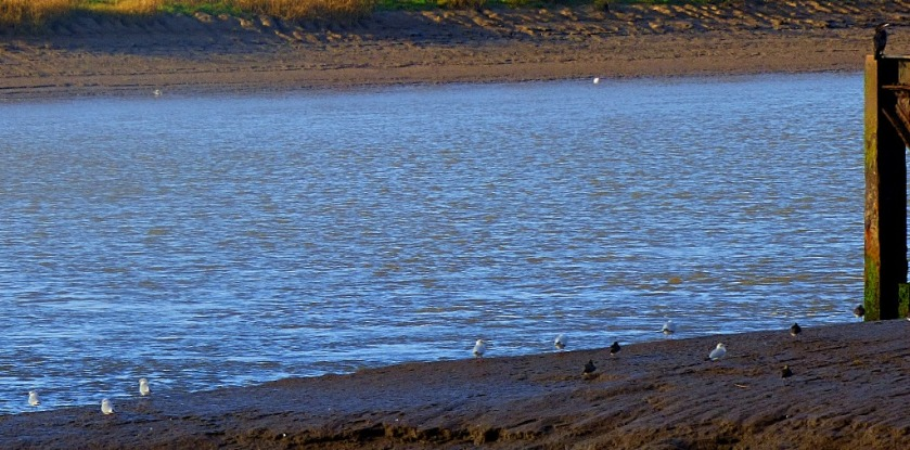 Cormorant, gulls and lapwings