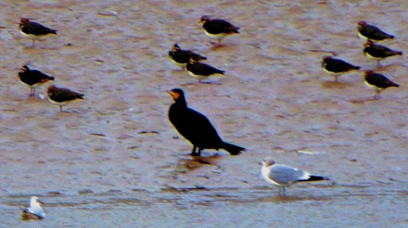 Cormorant, gulls, lapwings
