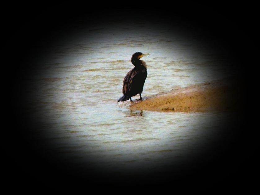 Cormorant III