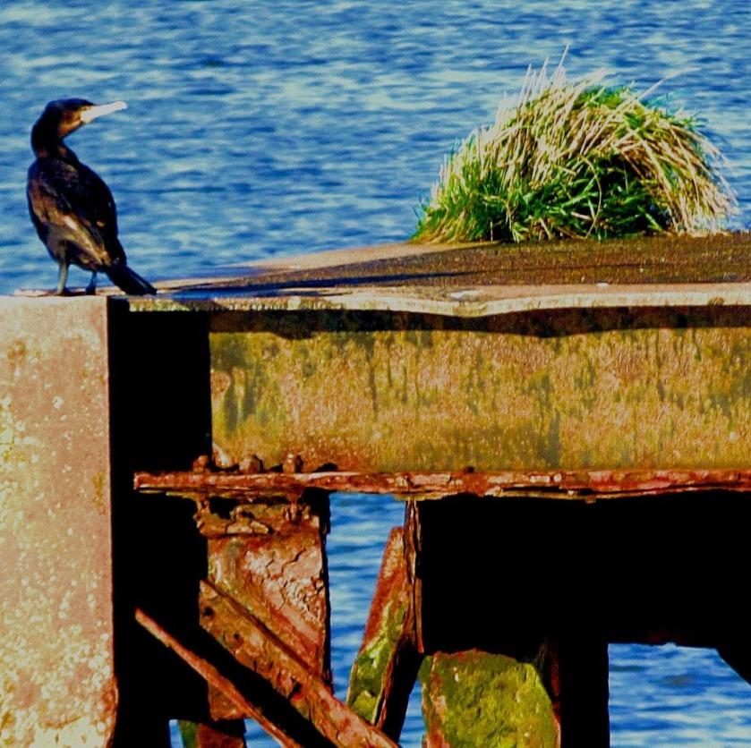 Cormorant IV