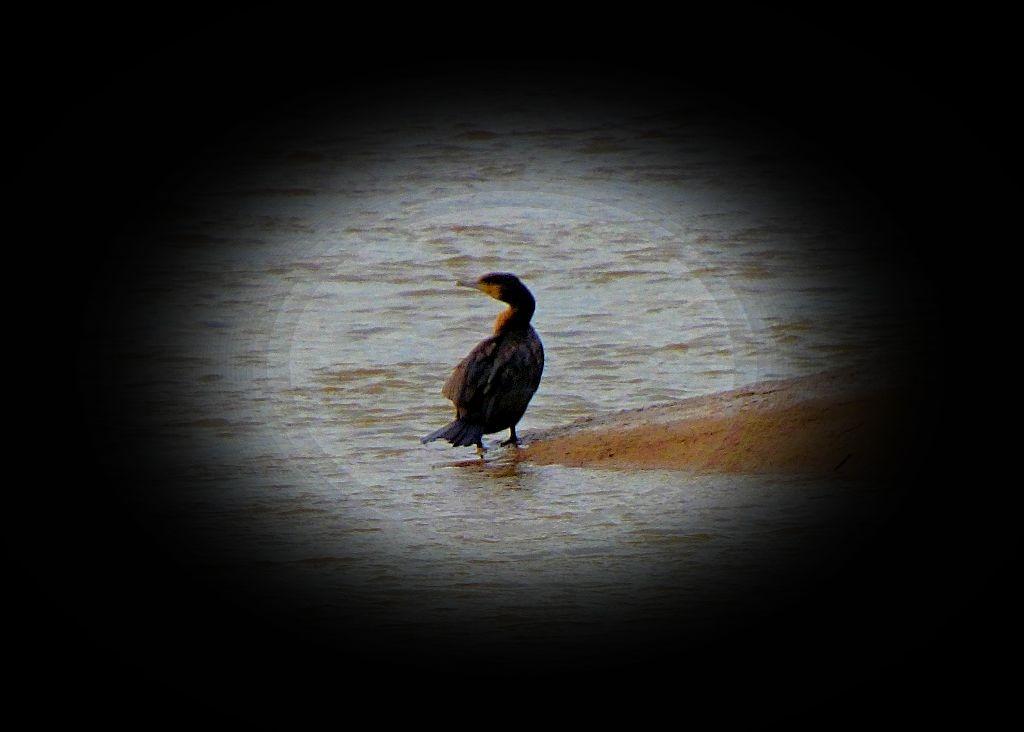 Cormorant V