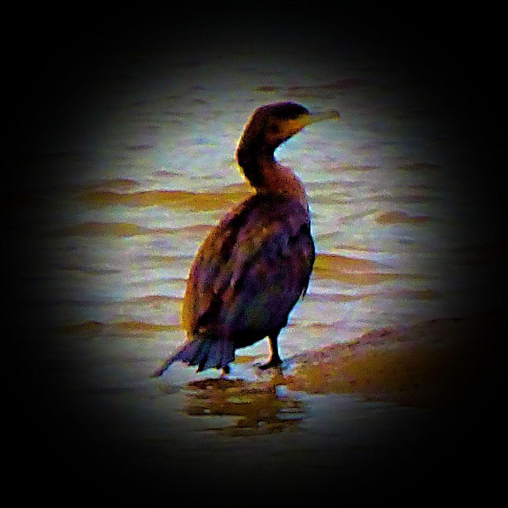 Cormorant VI