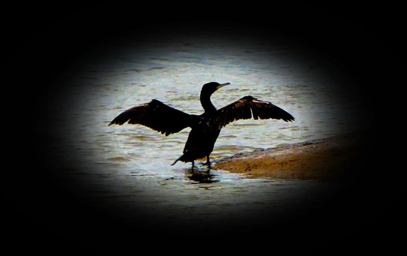 Cormorant with spread wings