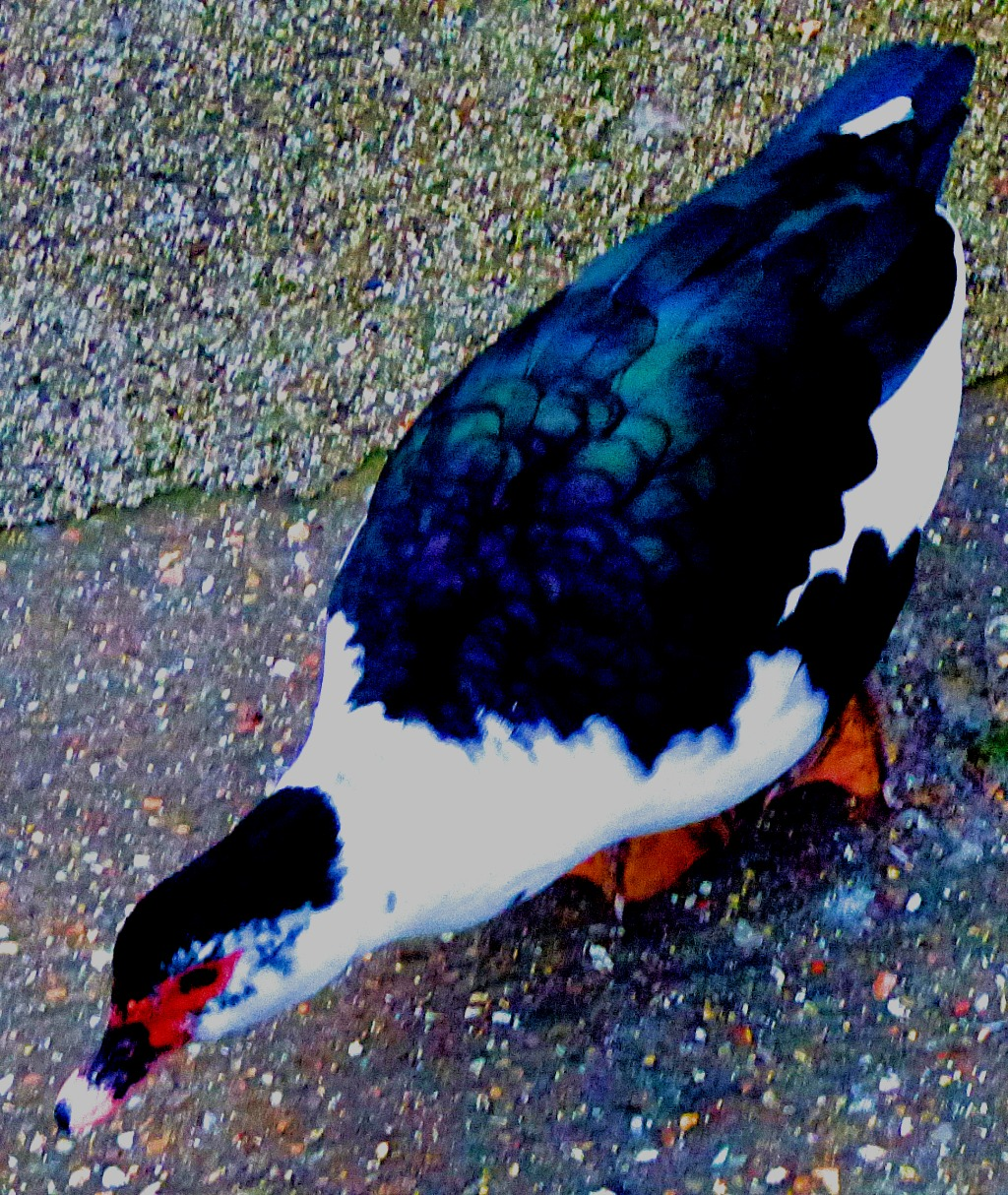 dark muscovy with white front III