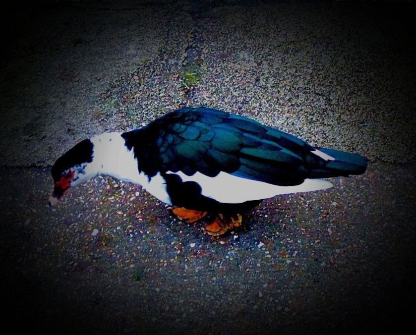Dark muscovy with white front V