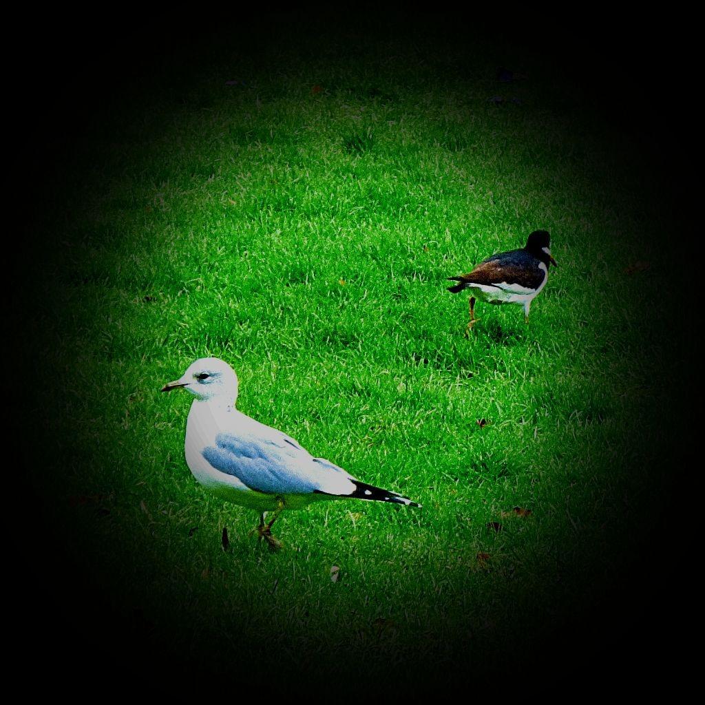 gull and oysercatcher