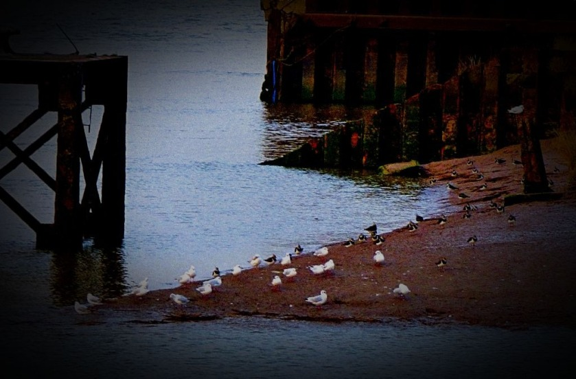 Gulls and lapwings II