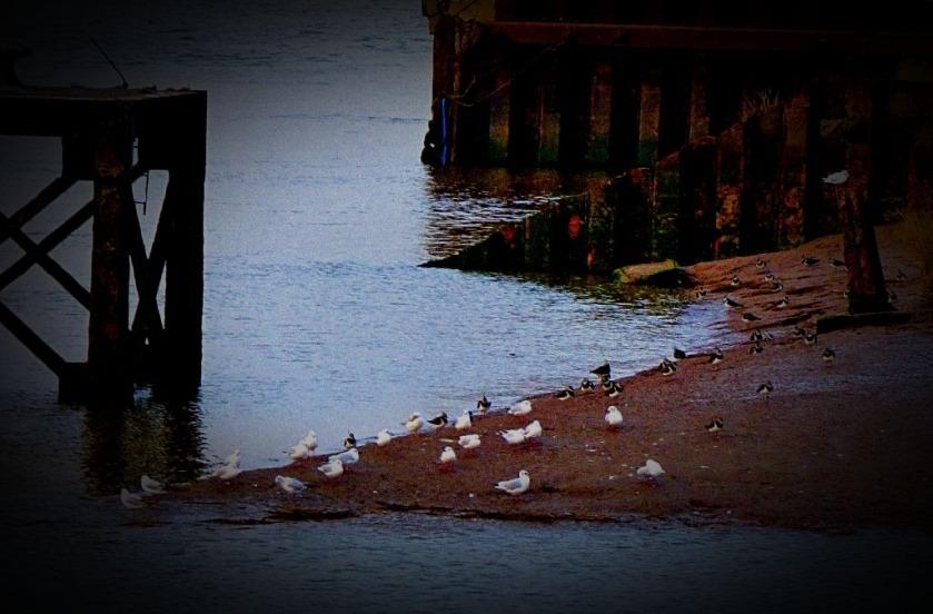 Gulls and lapwings II
