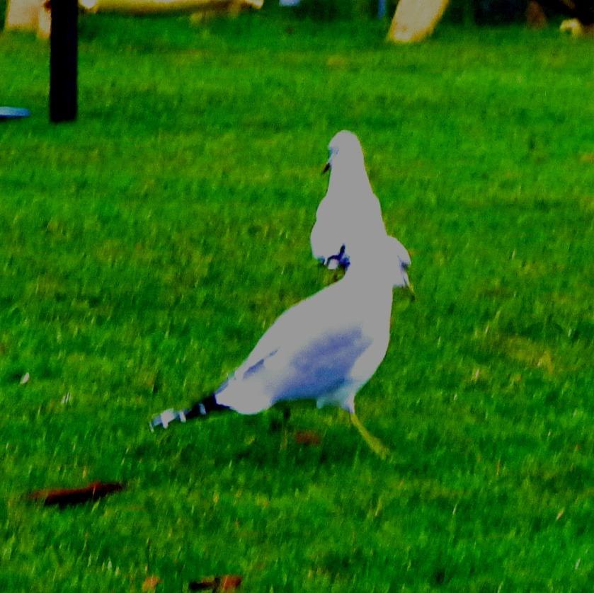 Gulls II