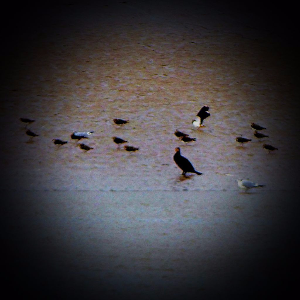 lapwings, cormorant and others