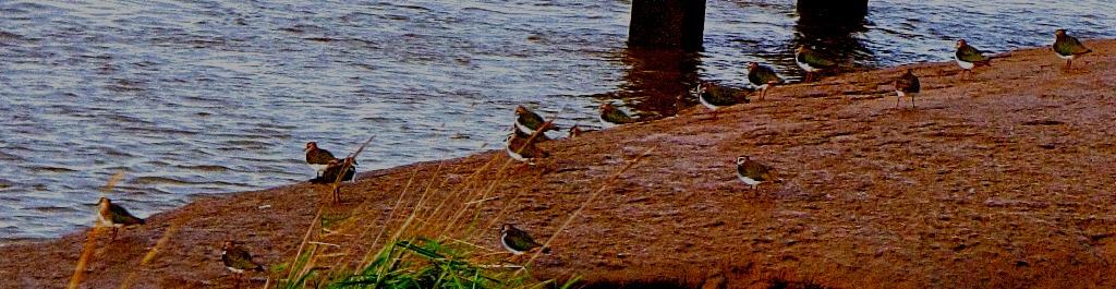 Lapwings group shot
