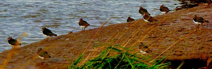 lapwings x 8