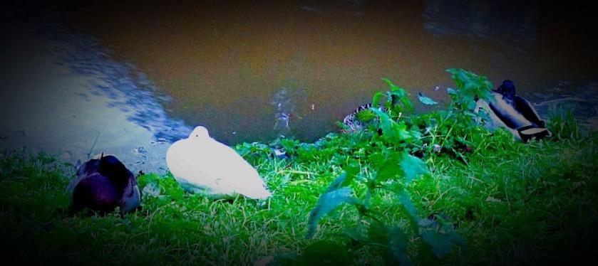 Mallard drakes and white duck