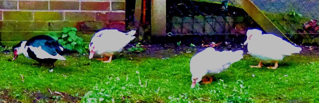 Muscovy ducks x 4