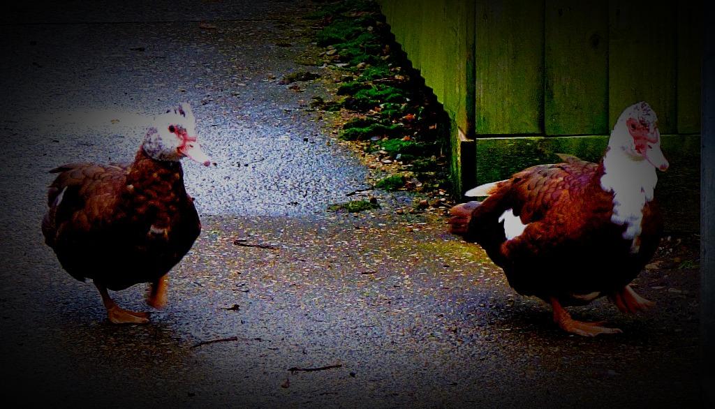 Musocyv ducks x 2