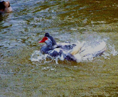 splashing muscovy
