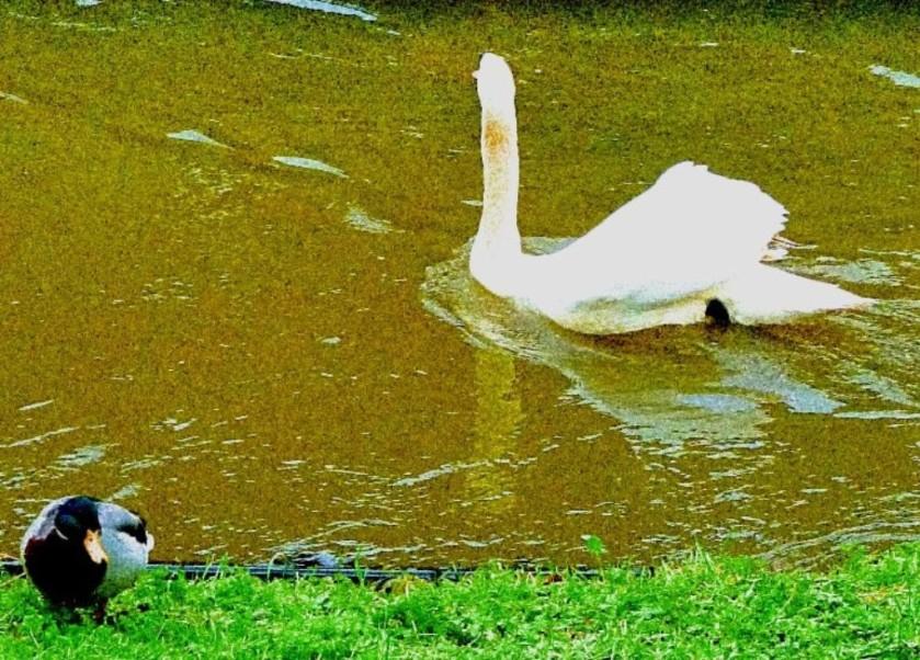 Swan abd drake