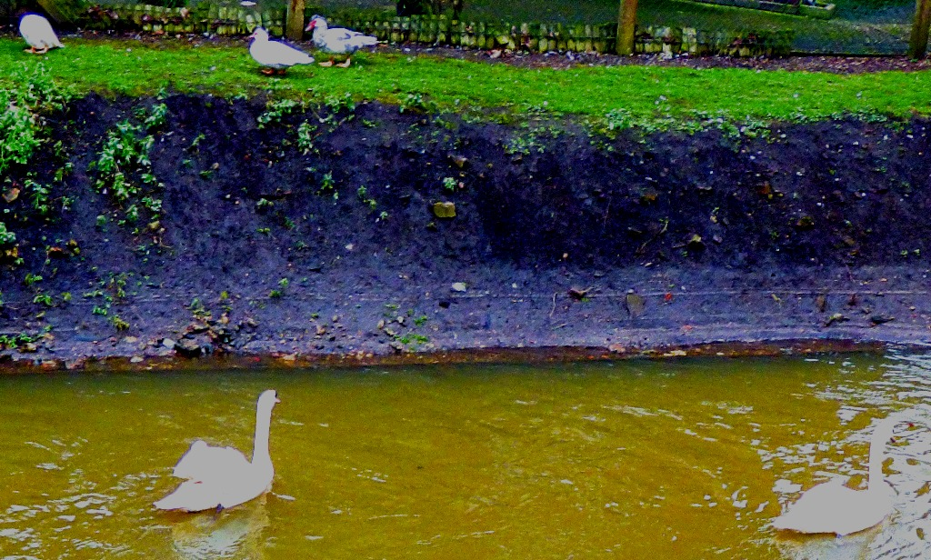 Swans and muscovies