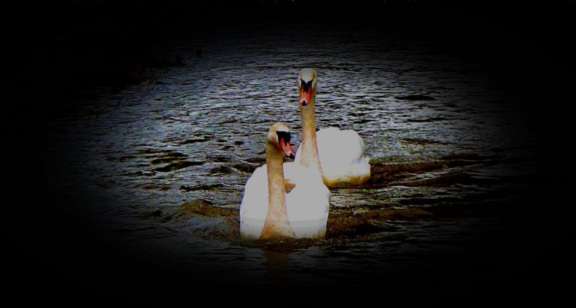 Swans III