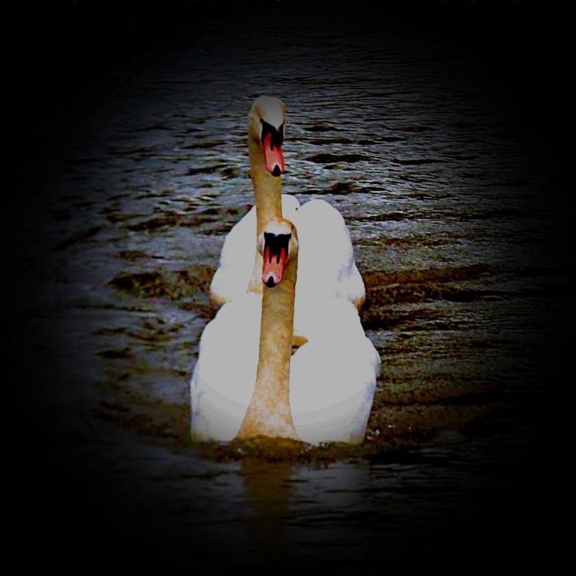 Swans IV