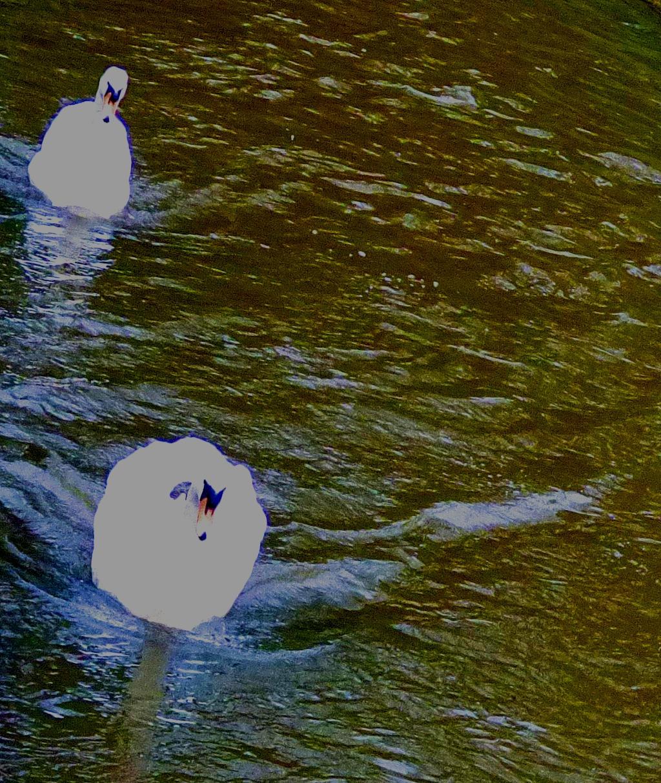 Swans V