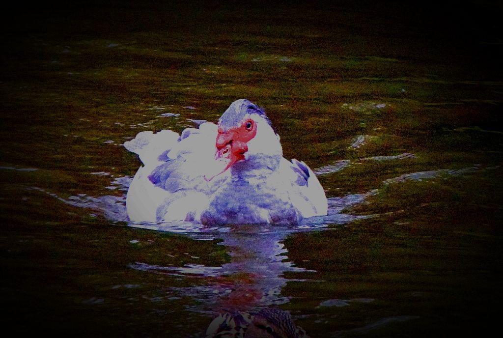 swimming muscovy