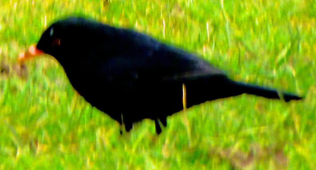Blackbird CLXI