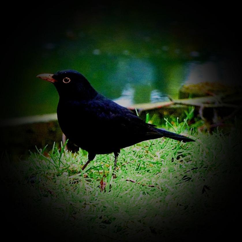 Blackbird CLXII