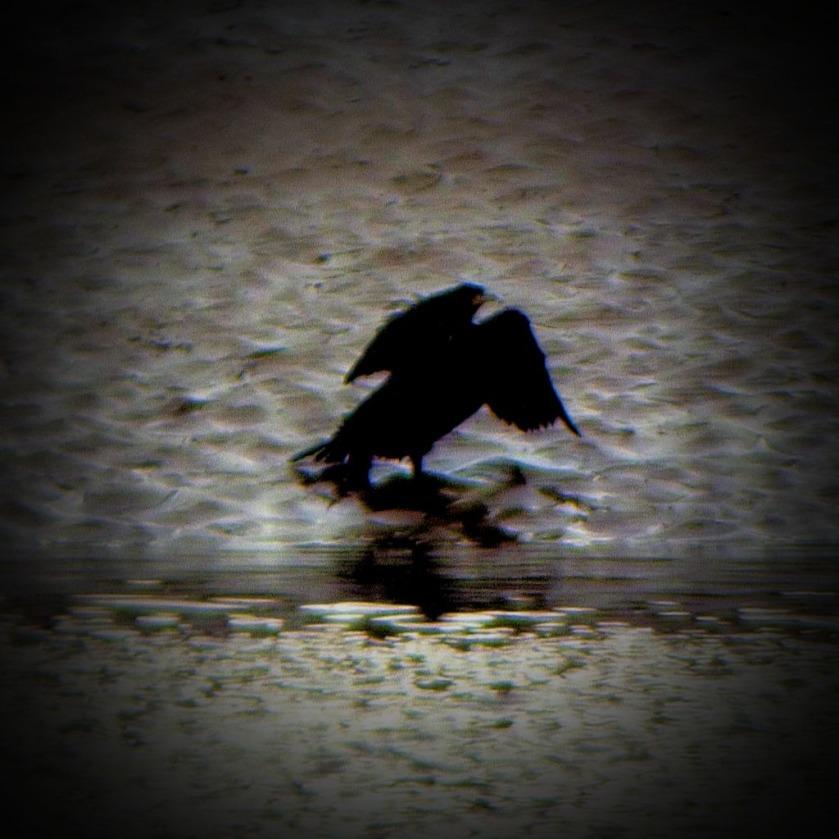 Cormorant C
