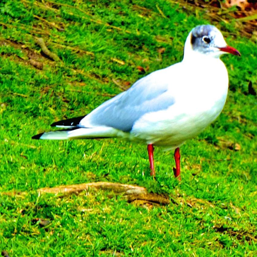 gull CLX
