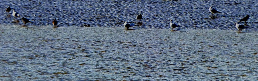 gulls and lapwings