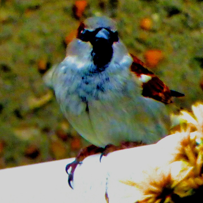 House Sparrow II