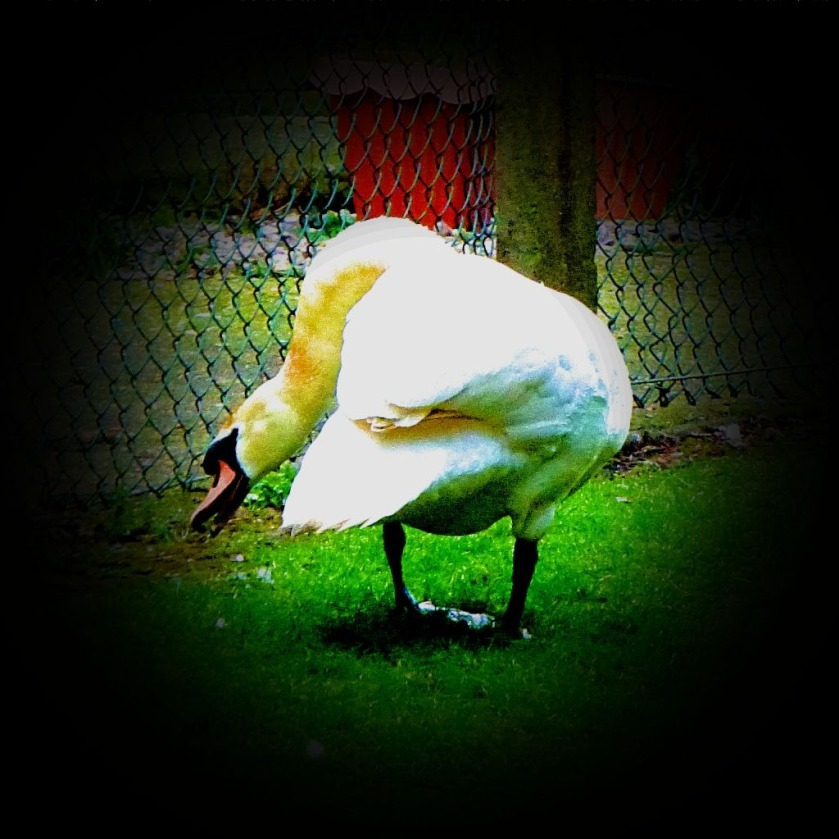 Mjute Swan CI
